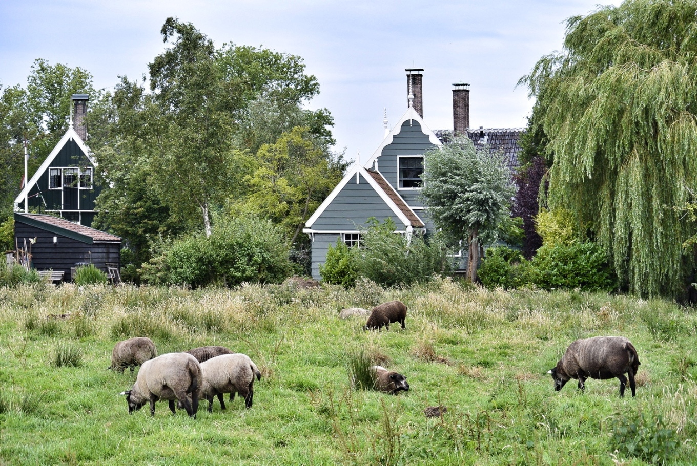 Dutch houses and sheep in Zaanse Schans